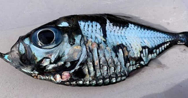 ikan picasso